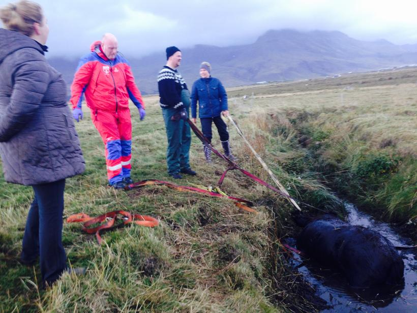 The horse had fallen into a ditch and become stuck …
