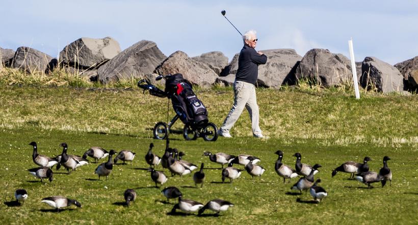 Golfað á Nesvelli innan um margæsirnar