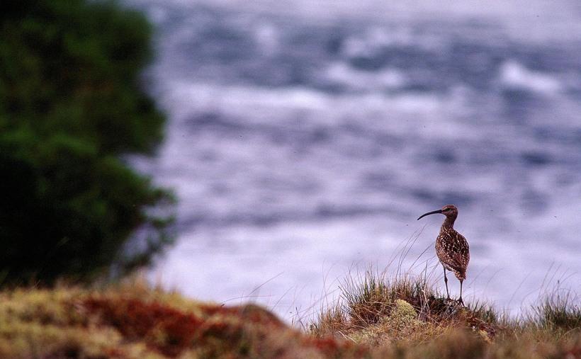 Mývatn is a paradise for bird-watchers.