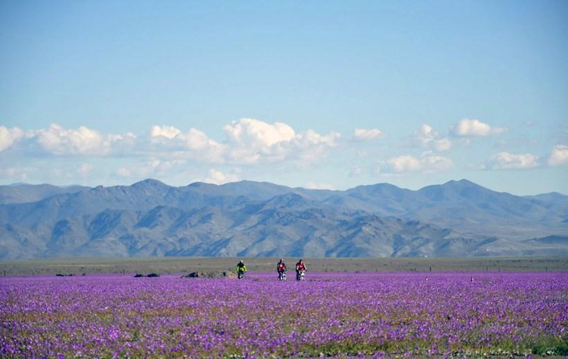 Atacama eyðimörkin er afar blómleg núna.