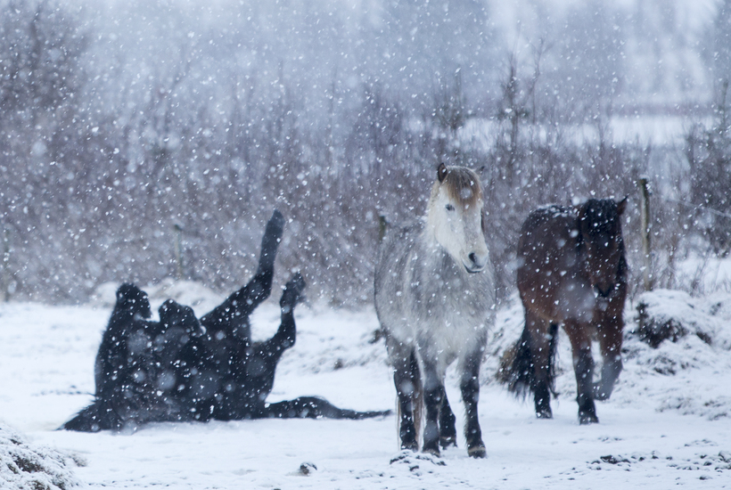 The Icelandic horse has a thick coat during the winter ...