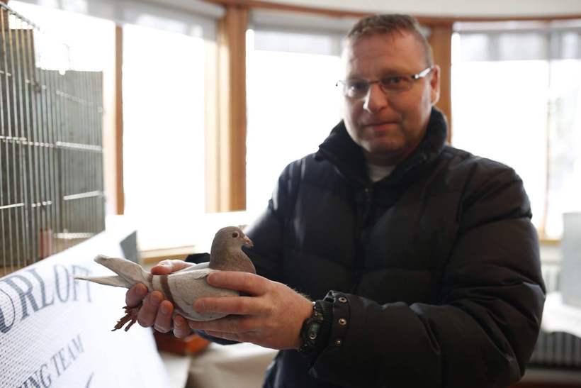 Um 40 manns stunda dúfnarækt á Íslandi.