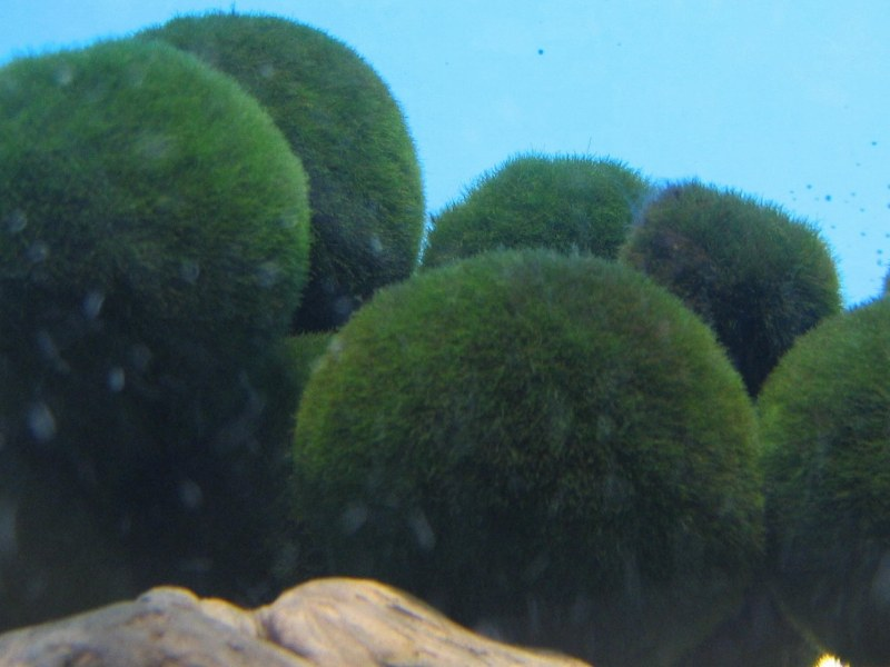 Cladophora moss balls such as these have now reportedly disappeared ...