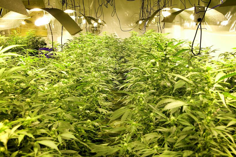 A cannabis plantation in Iceland discovered by police this year.