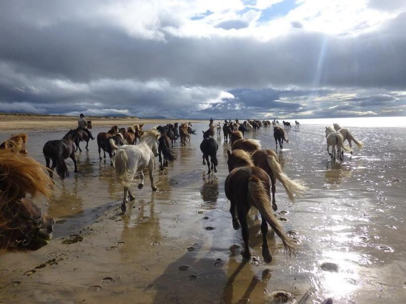 Katie Wanders : All About Icelandic Horses- riding tours ... |Icelandic Horse Tours