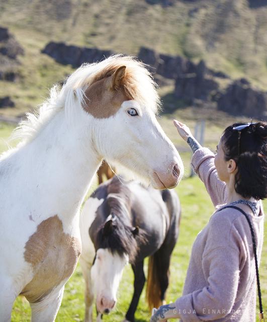 Gígja's sister Harpa petting a blue-eyed Hindisvík horse