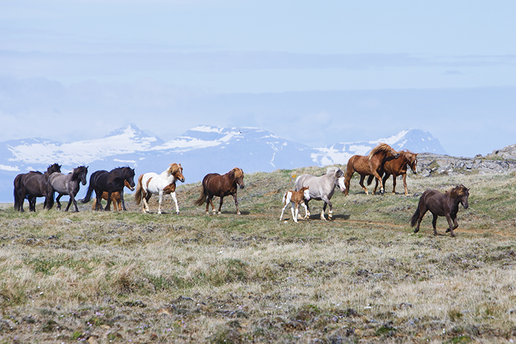 The Hindisvík horses roaming free in Icelandic pastures during the ...