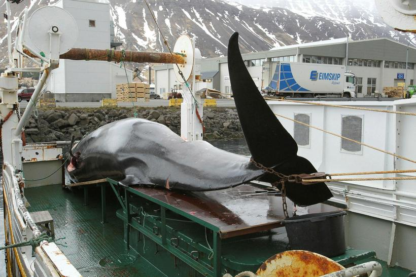 Whaling is likely not to blame for significant falls in …