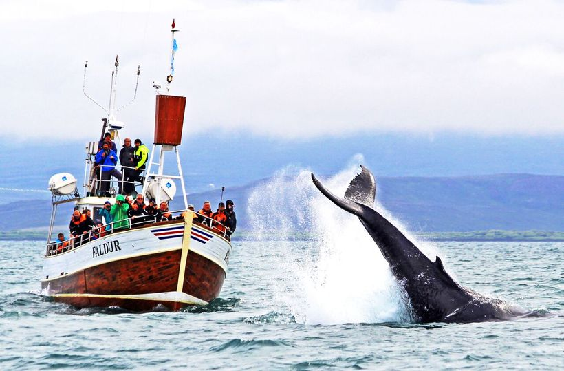 Whale-watching is on the to-do list of most tourists visiting …