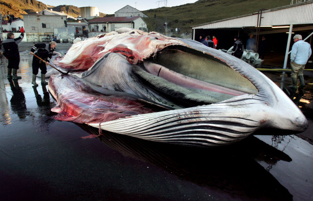 Whales die a slow, painful death when they are harpooned, …