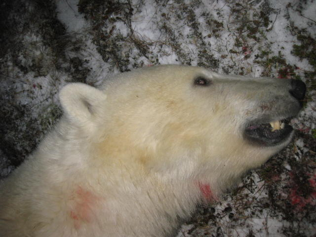 A polar bear carcass from 2010.