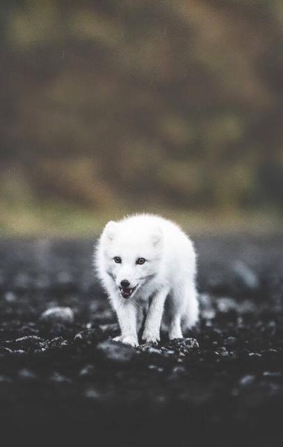 A white fox.