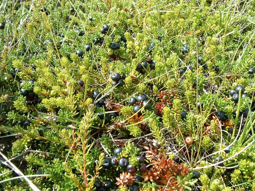 "Icelandic crowberries - ""krækiber""- are small and black in colour."