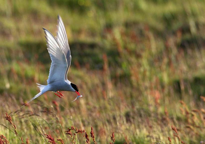 An arctic tern.