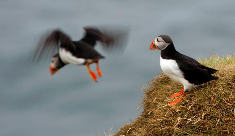 An Icelandic puffin.