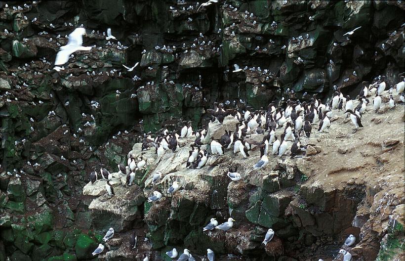 Seagulls and other seabirds on a cliff in Breiðafjörður bay, ...