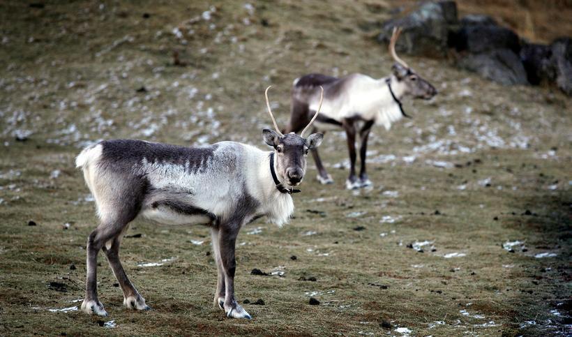 Aldrei hefur verið staðfest riða í íslenska hreindýrastofninum.