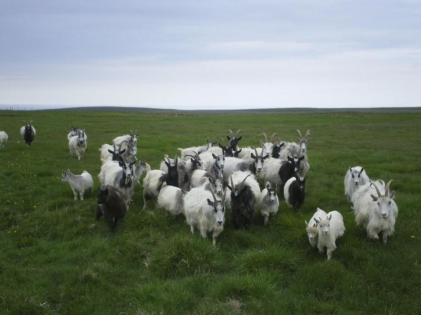 The Icelandic goat was almost extinct. Now Icelandic goat cheese ...
