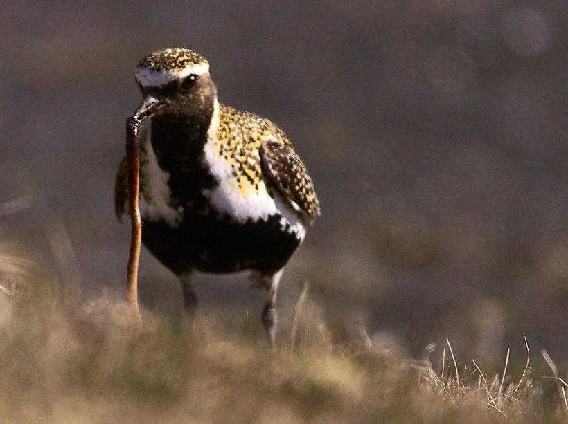 Heiðlóa is the Icelandic name for the golden plover.