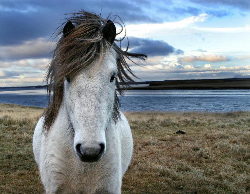At Sturlu Reykir you can visit a real, working horse ...