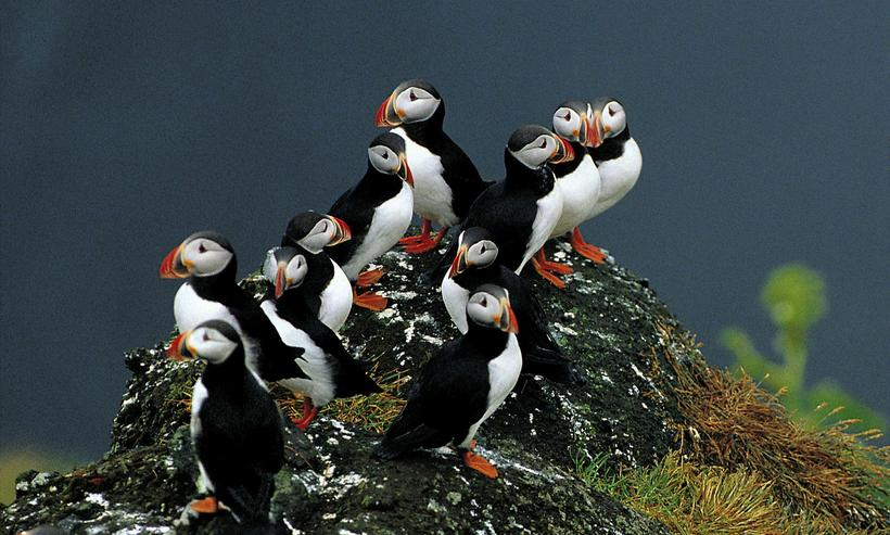 The puffin resides in cliffs all over Iceland and feeds …