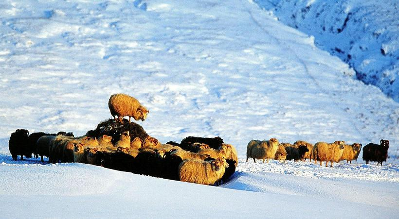 Icelandic sheep's immune system is not used to many of ...