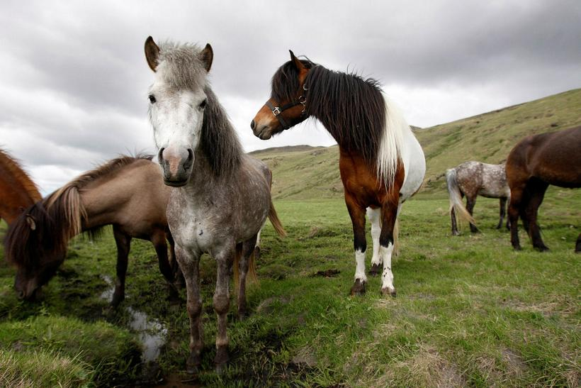 Icelandic horses are rather small, and very fluffy in winter.