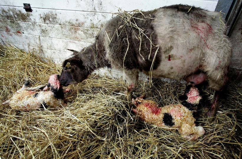 Sheep placenta is loaded rich in collagen and anti oxidants.