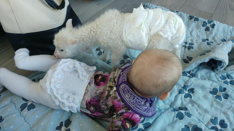 Lúlli the lamb loves cuddling up with Hekla, four months ...