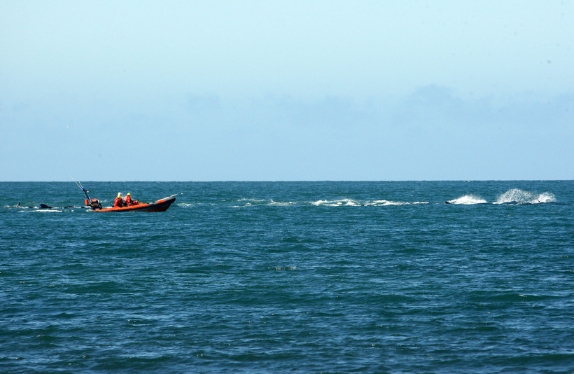 The local Search and Rescue horded the whales away from …