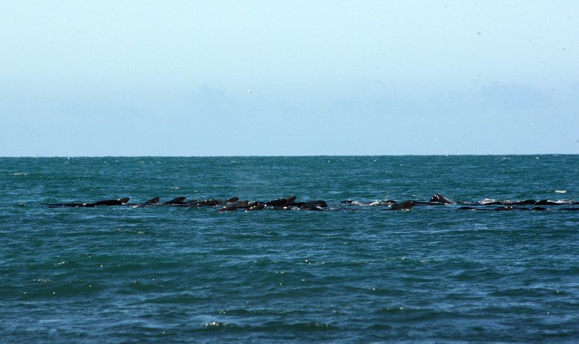 Many of the whales where bloody, injured after hitting the ...