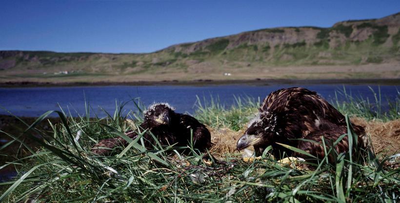 Vitað er um 27 arnarhreiður með 33 arnarungum á Íslandi ...