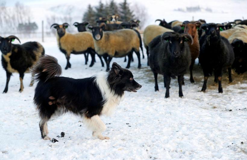 Hlutverk íslenska fjárhundsins hér áður var að smala fé og ...