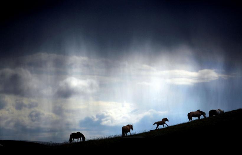 Many horses roam free in Iceland.
