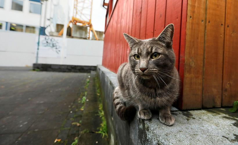 A cat in Iceland. Note: the cat in the photograph ...