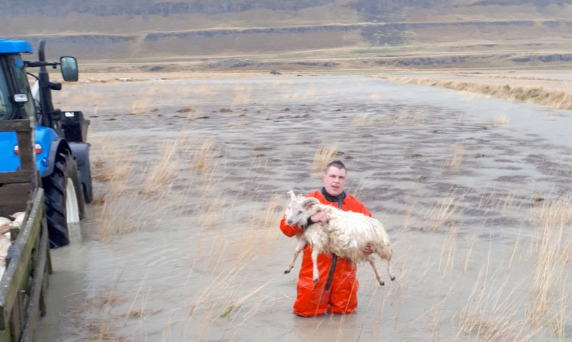 A rescue worker carrying a sheep back to land.