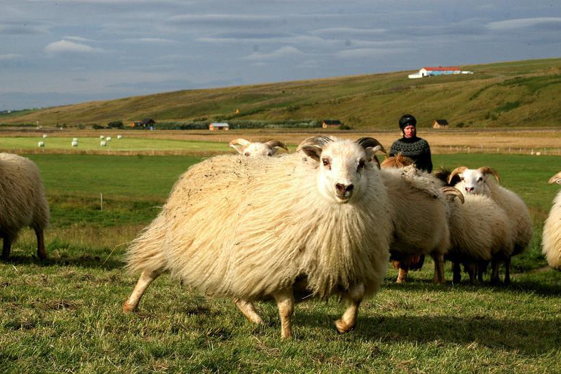 Riðuveiki hefur greinst á nokkrum bæjum í Skagafirði undanfarin ár. …